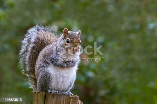 Squirrel before sunrise