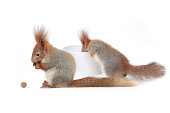two squirrel holds a walnut on a white background