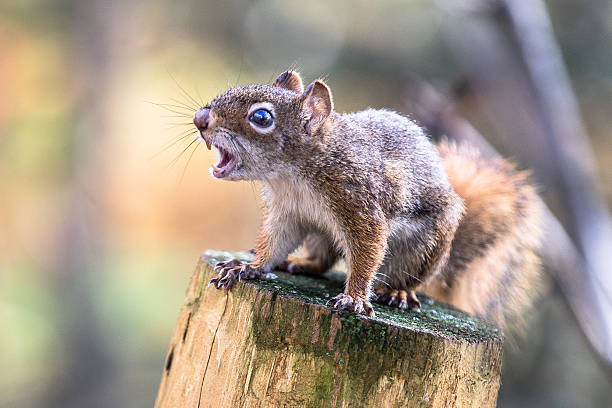 écureuil - squirrel stock photos and pictures