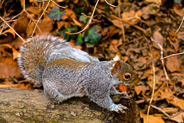 squirrel - aleks66 stock pictures, royalty-free photos & images