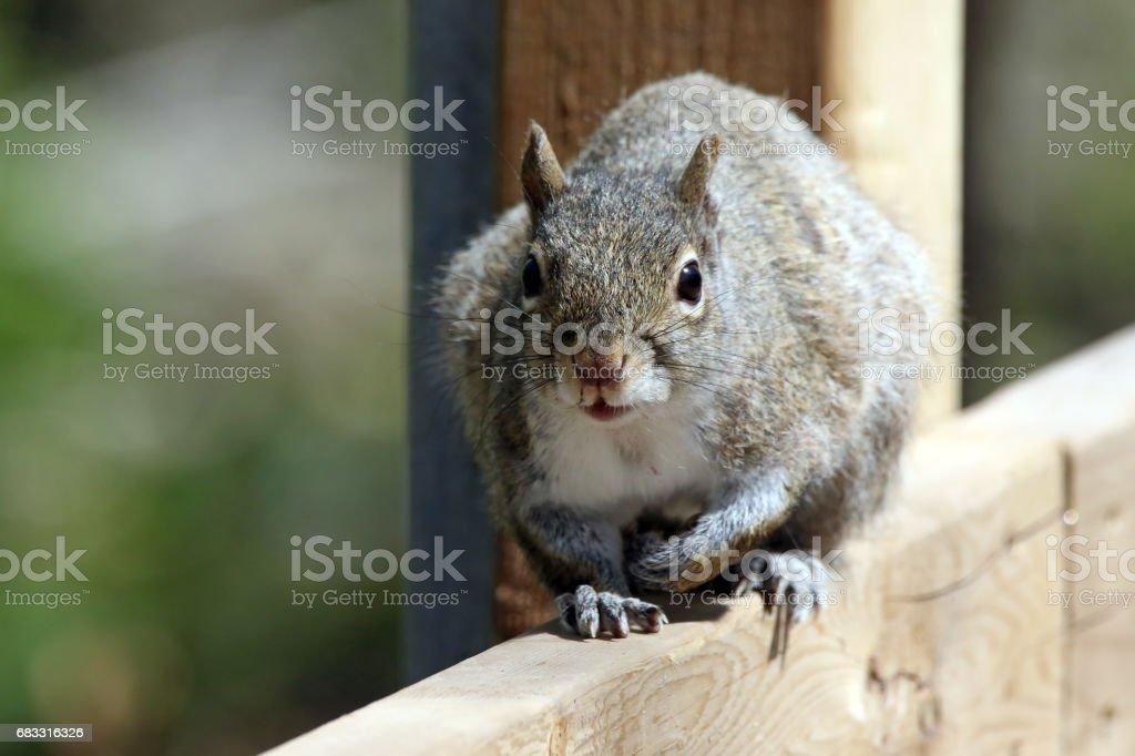 Squirrel foto stock royalty-free