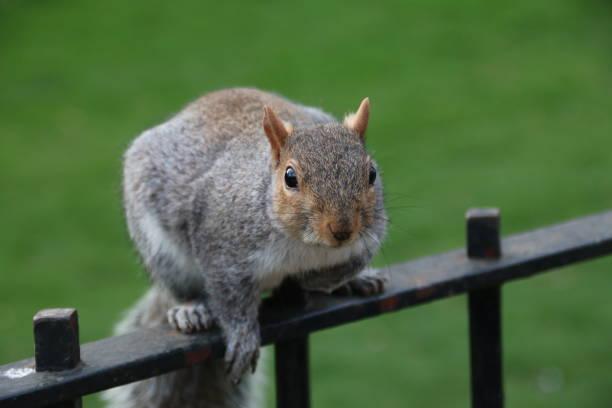 Squirrel - fotografia de stock