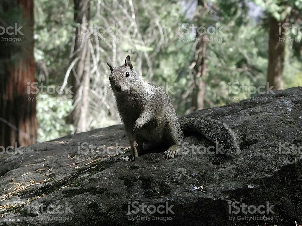 Squirrel royaltyfri bildbanksbilder