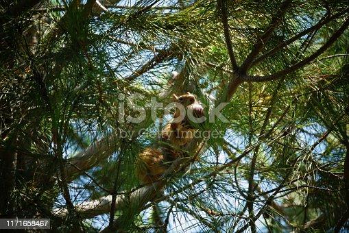 Squirrel Pine Tree Nature Fig