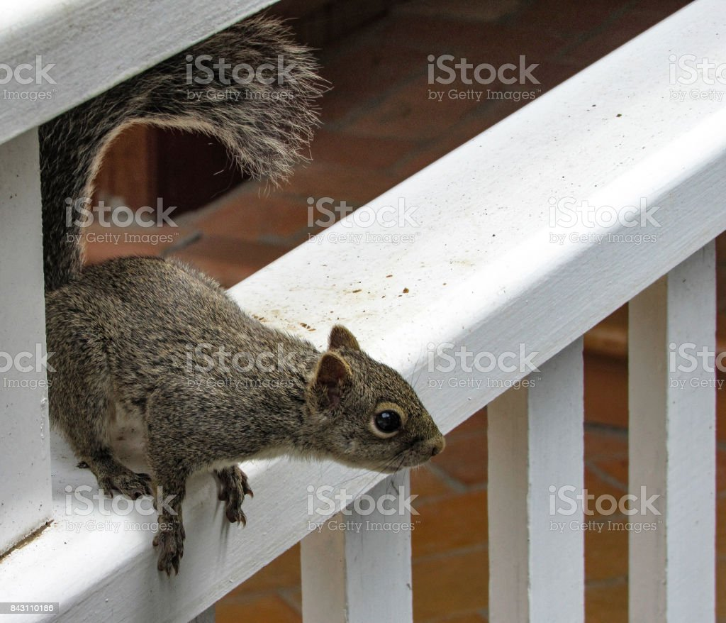 Squirrel Preparing to Jump stock photo