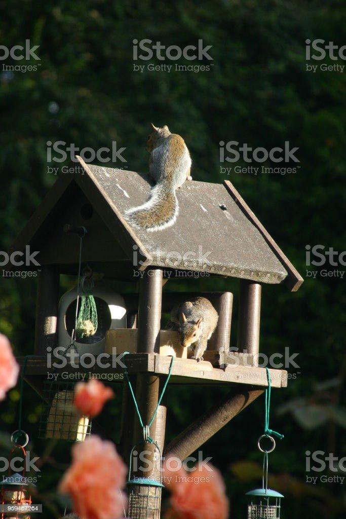 Squirrel Raid stock photo