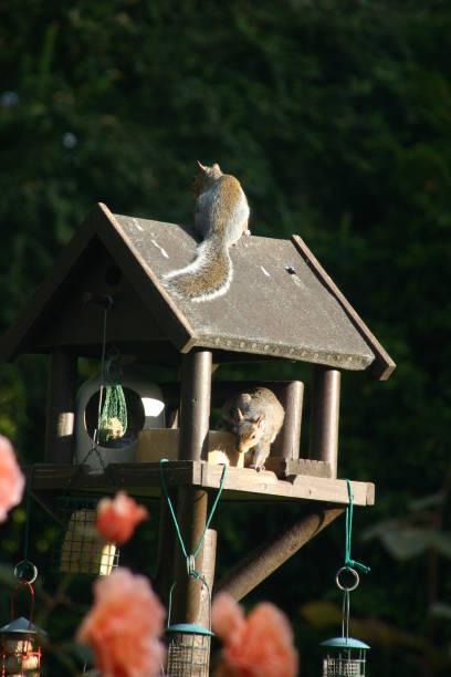 Eichhörnchen-Raid – Foto