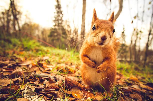 Squirrel red fur funny pets autumn forest on background wild nature...