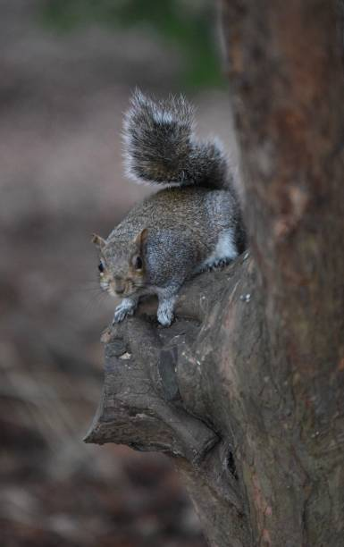 Squirrel relaxing stock photo