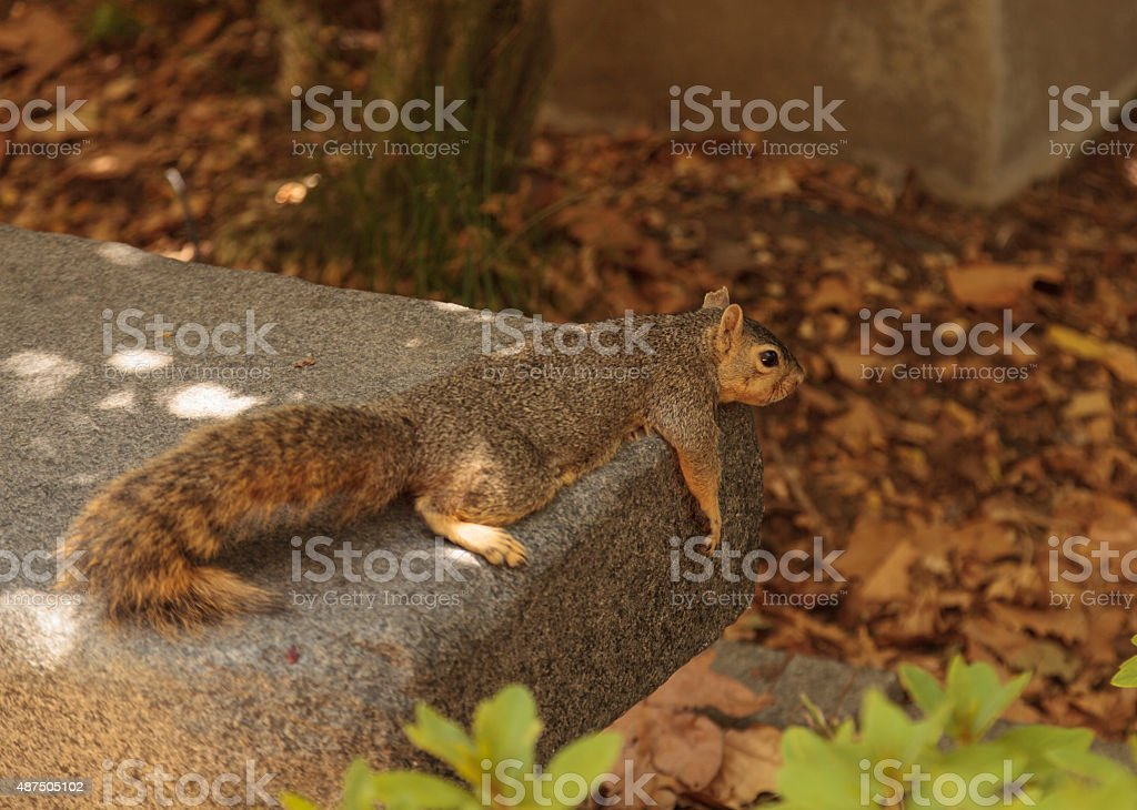 Squirrel rests on a bench stock photo