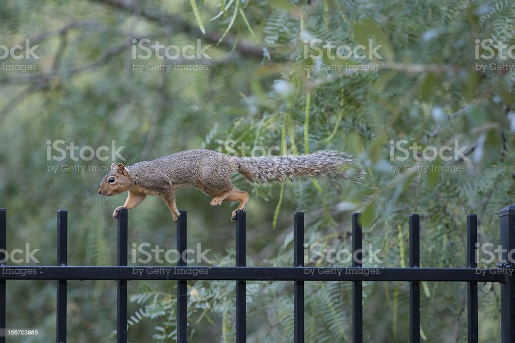Squirrel safety route royalty-free stock photo