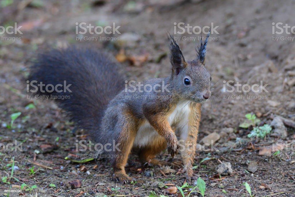 squirrel sciurine crawly on the trees stock photo