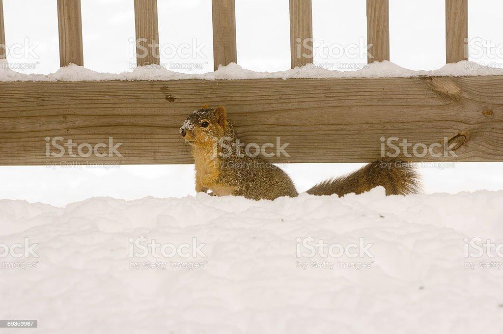 Scoiattolo ricerca di cibo nella neve foto stock royalty-free