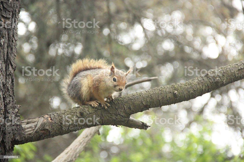 Squirrel - Sincap stock photo