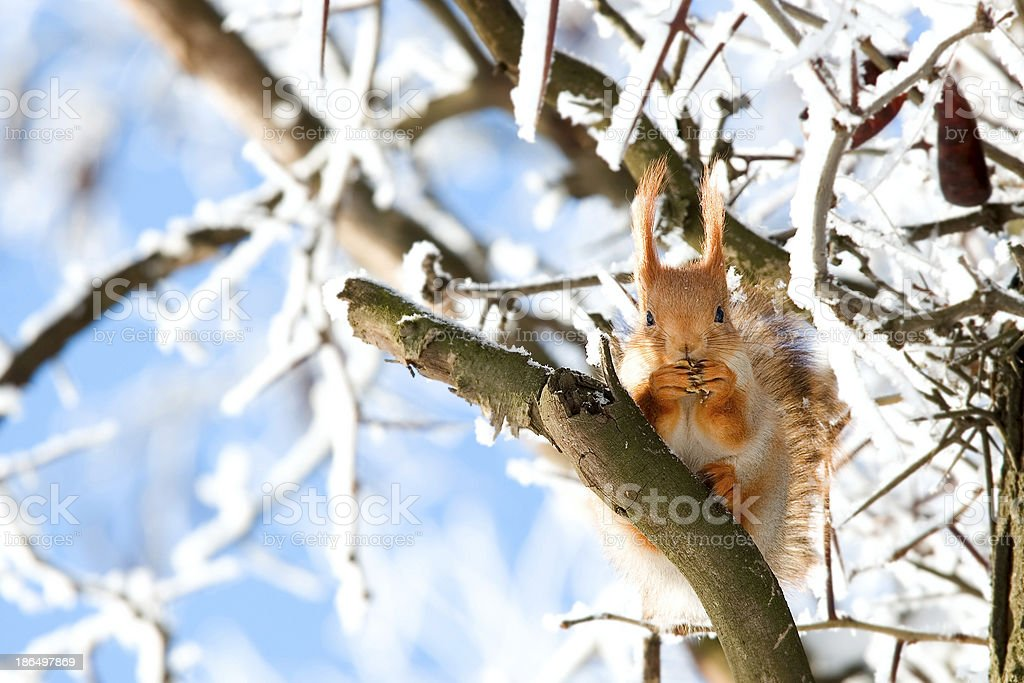 Squirrel sits on a tree royalty-free stock photo
