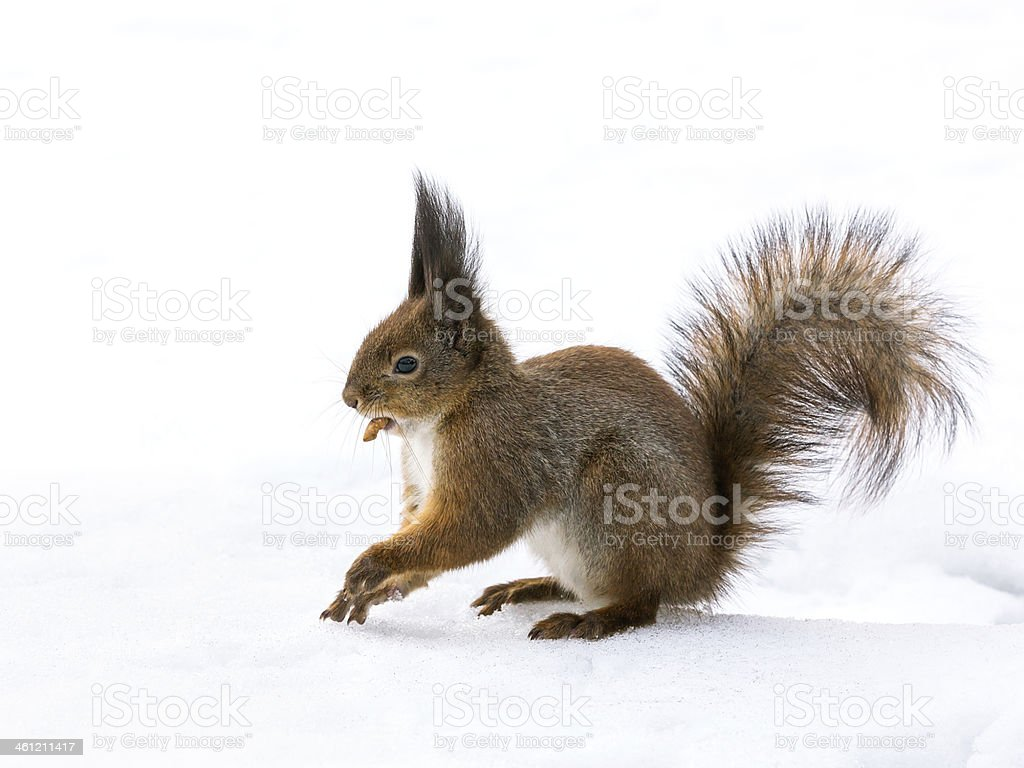 Squirrel sitting in snow stock photo
