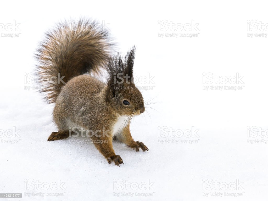 Squirrel sitting in the snow stock photo