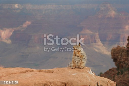 istock Squirrel sitting on edge of canyon with the picturesque Grand Canyon in the background 1330442155