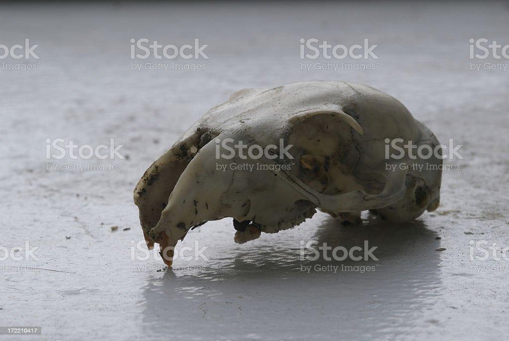 Squirrel Skull stock photo