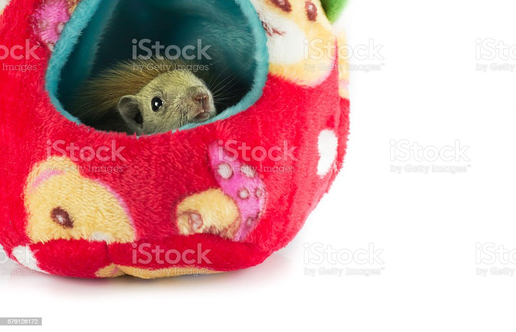 squirrel sleep in hand. stock photo