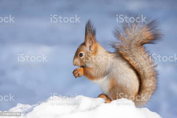 Photo of squirrel snow winter