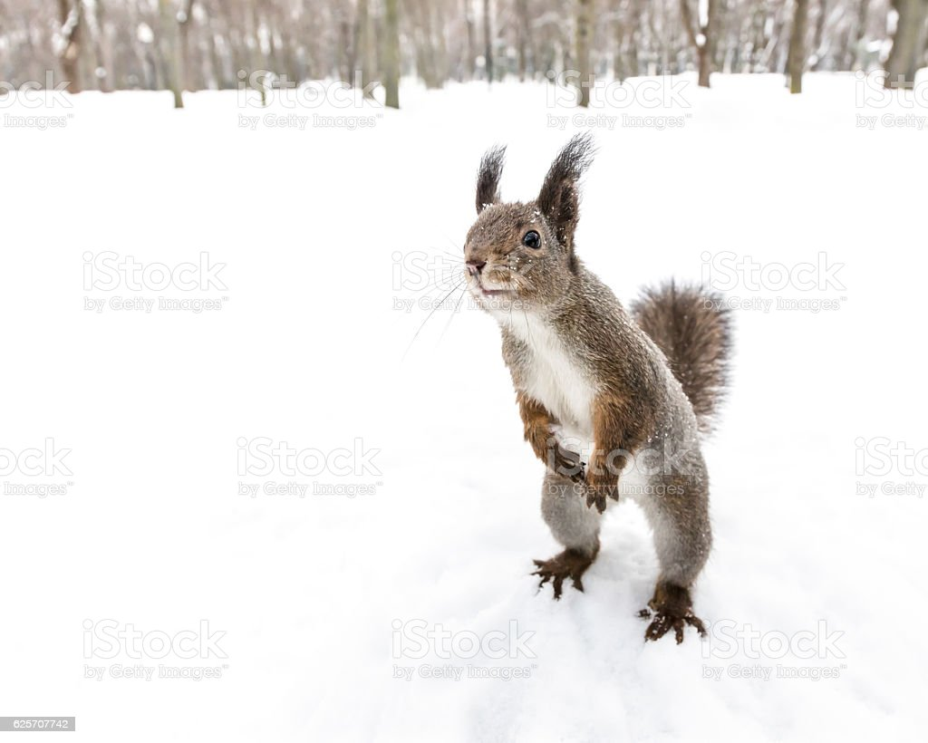 squirrel standing on hind feet searching for snack on snow stock photo