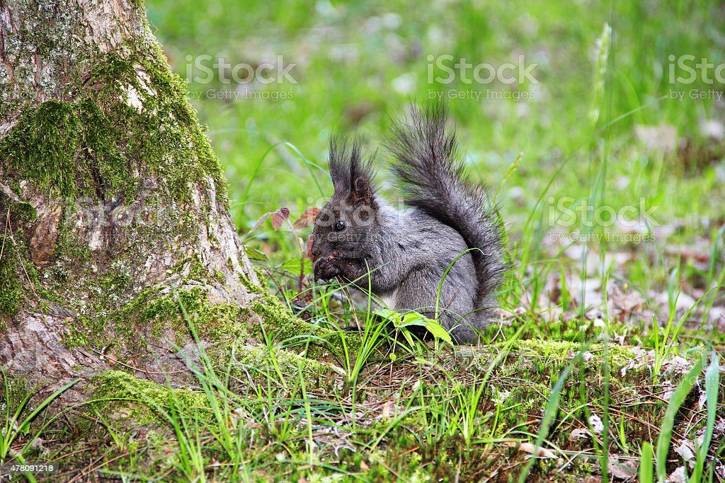 squirrel standing  on his hind legs stock photo