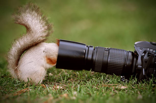 Squirrel stands on the ground and keeps the camera lens stock photo