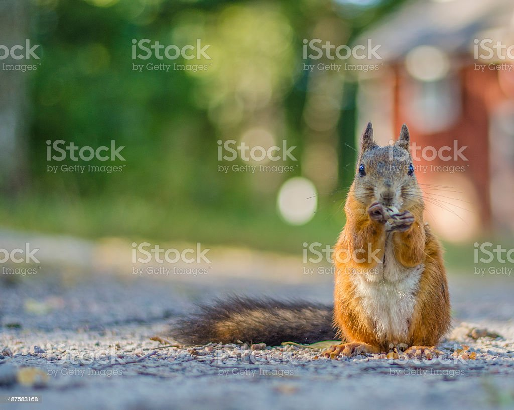 Squirrel staring close up stock photo