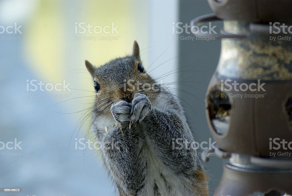 Squirrel Stealing Lunch stock photo
