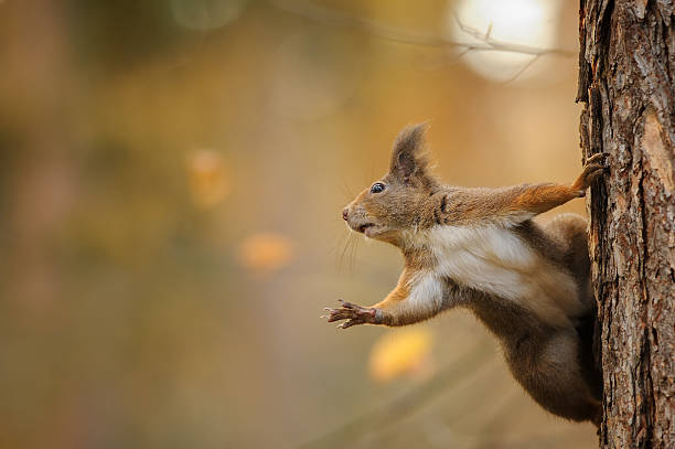 Squirrel stunned reaching left while holding the trunk stock photo