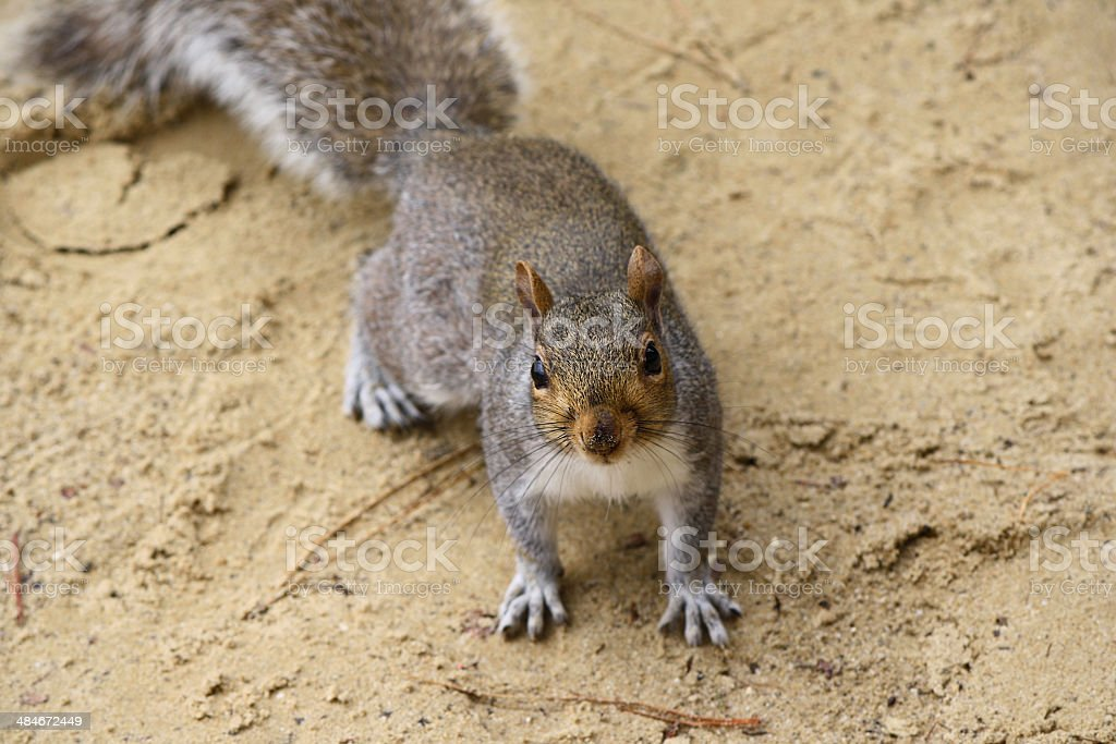 Squirrel Surprised on Beach stock photo