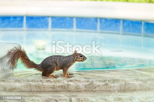 Thirsty squirrel taking a drink from swimming pool spa water