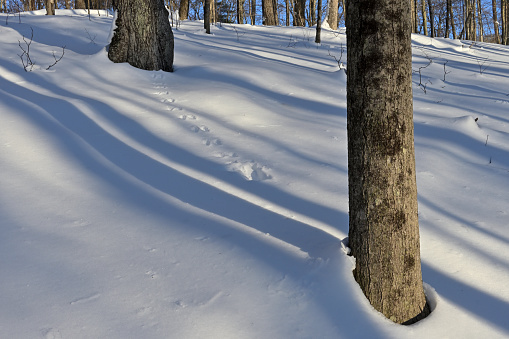Gray squirrel tracks on wooded slope, between two trees in deep snow, amid long forest shadows. Late afternoon in midwinter after major New England snowstorm.
