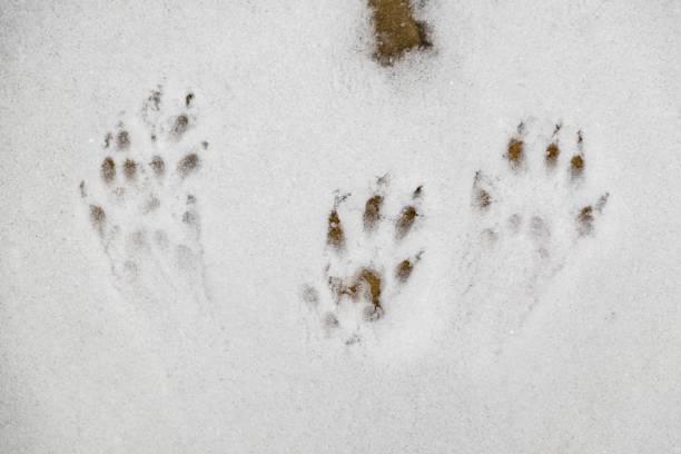Squirrel tracks stock photo