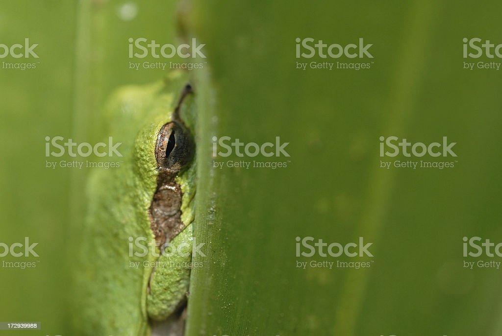 Squirrel tree frog hiding royalty-free stock photo