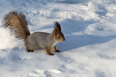 istock squirrel with a fluffy tail on the snow 1131537807