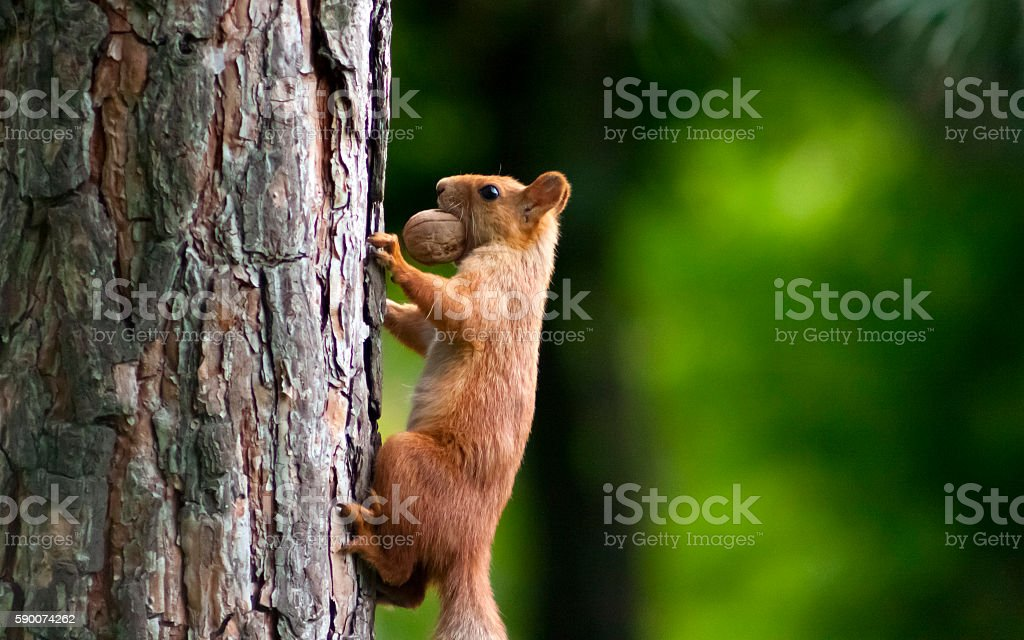 Squirrel with a walnut stock photo