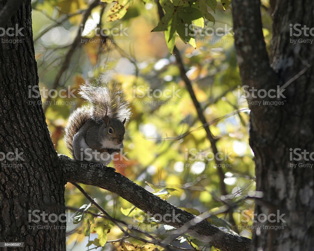 Squirrel with Autumn Background royalty free stockfoto