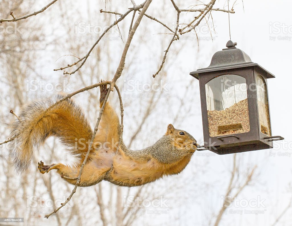 Squirrel with bird feeder stock photo