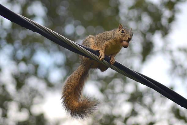 écureuil dans sa bouche avec noix de pécan - écureui photos et images de collection