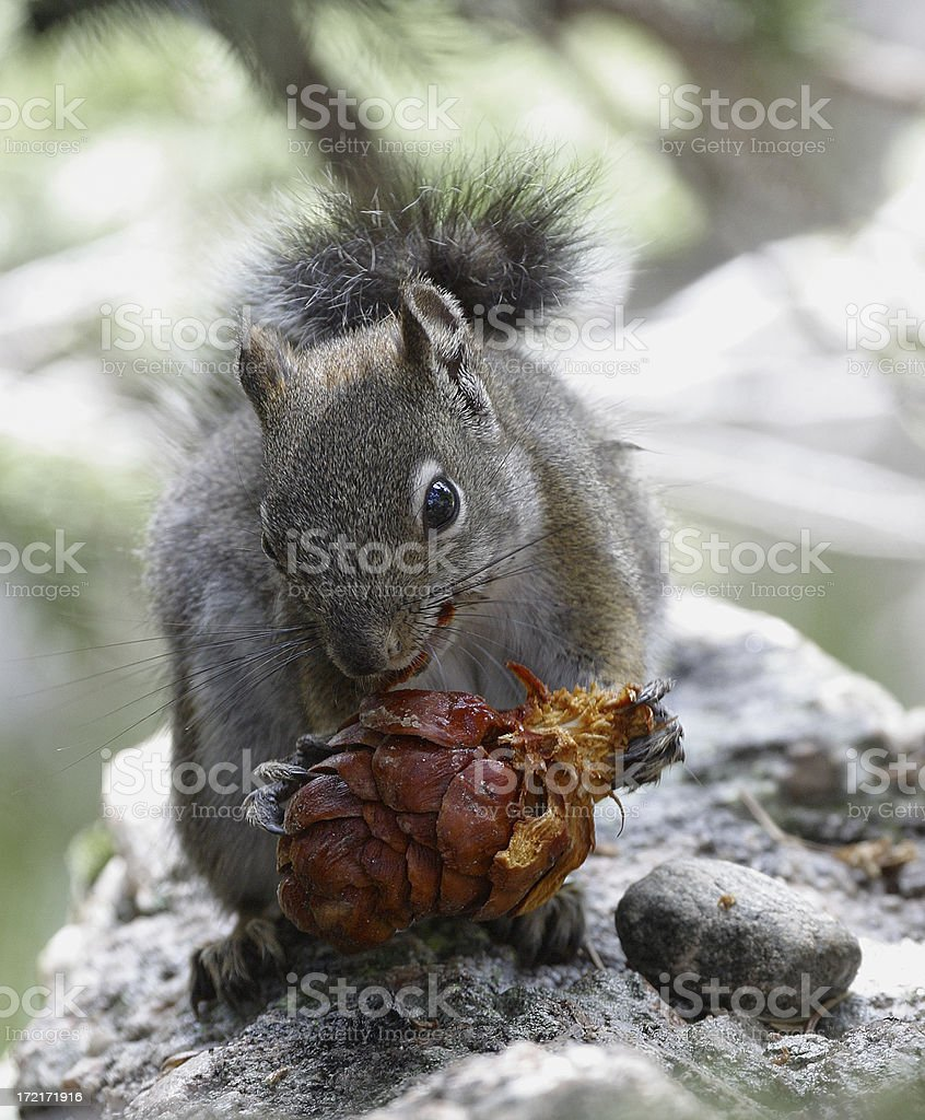 Squirrel with Pinecone royalty-free stock photo