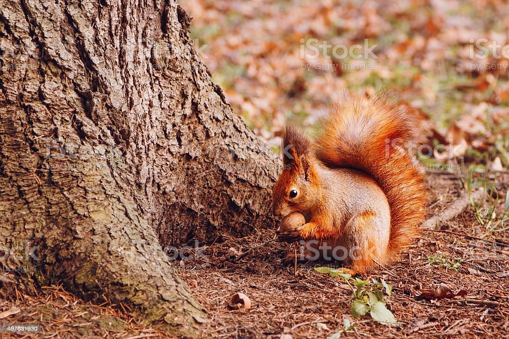 Squirrel with walnut stock photo