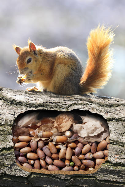 squirrels burrow - squirrel stock photos and pictures