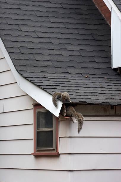 Squirrels In Attic stock photo