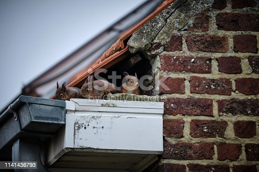 istock Squirrels on the roof 1141436793
