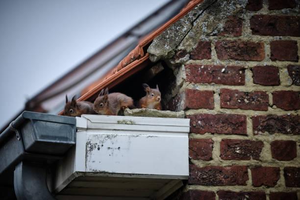 écureuils sur le toit - écureui photos et images de collection