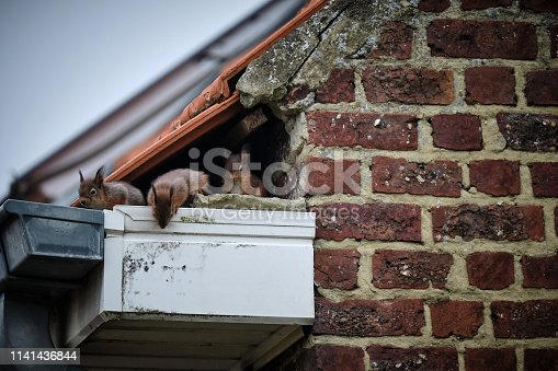 A family of curious squirrels made its nest in a high gutter, right in a gap underneath the tiles of the roof and next to the uppermost part of the brick wall. Every day at the same time, the mother leaves the nest, while the lovely babies wait for her.