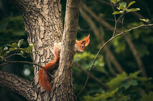 Squirrel on a tree. Close up