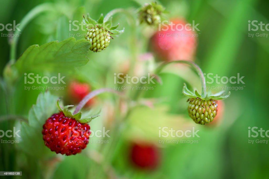 Srawberry stock photo